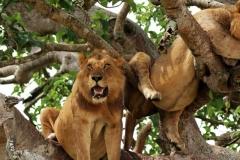 2-Tree-Lions